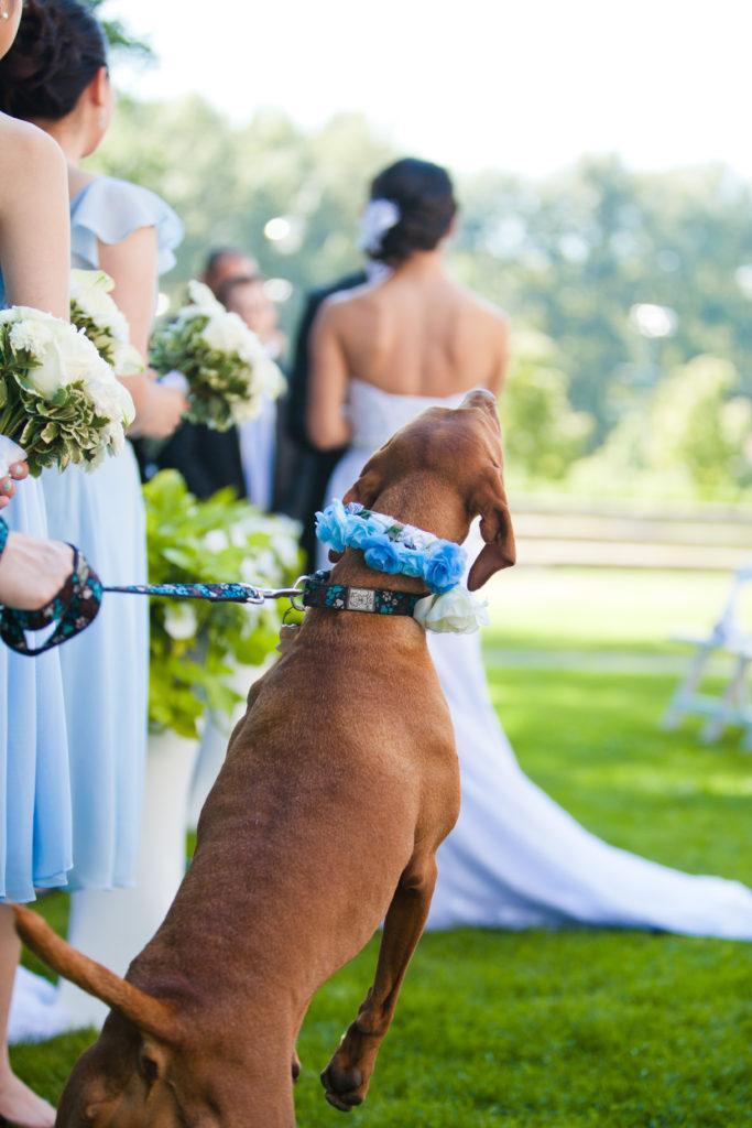 excited wedding dog at wedding ceremony port moody