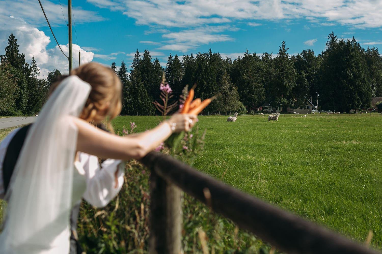 fraser valley alpaca wedding photo